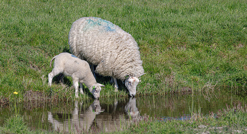 Sheep drinking from a natural water source
